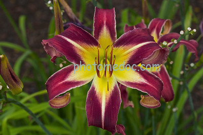 Purple Passion Lily