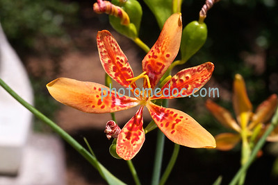 Open Orange Orchid