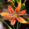Open Orange Orchid