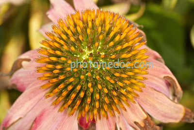 Blooming Onion Flower