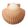 Tan Radial Seashell Isolated on White Background