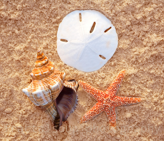 Three Prized Seashells in the Sand