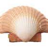 Radial Sea Shell Isolated on White Background