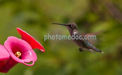 Close up of Humming Bird