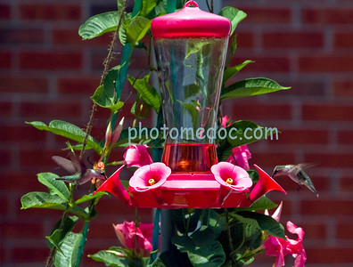 2 Humming Birds Feeding