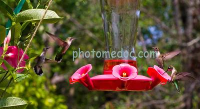 4 Humming Birds