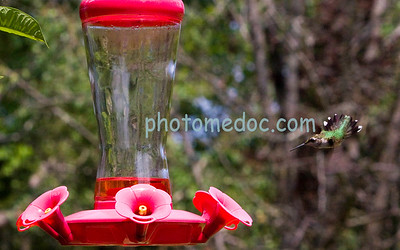 Humming Bird Coming to Feed