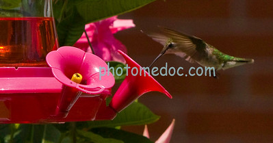 Eating Humming Bird