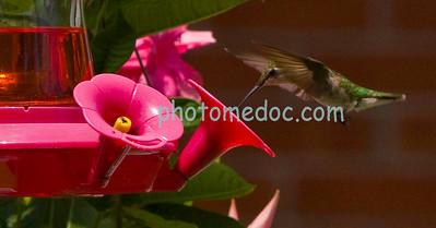 Eating Humming Bird