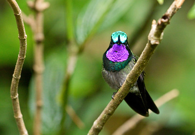 PURPLE-THROATED MOUNTAIN-GEM - Lampornis calolaemus - Monteverde, May 2018, Puntarenas, Costa Rica