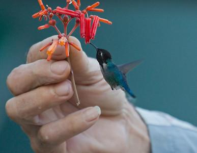 BEE HUMMINGBIRD - Mellisuga helenae - Palpite, Zapata Peninsula, February 2016, Matanzas, Cuba