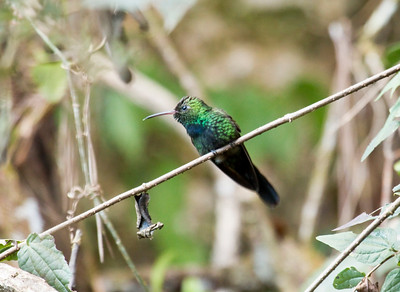 HISPANIOLAN EMERALD - Chlorostilbon swainsonii - Zapotén, January 2017, Sierra de Bahoruco, Dominican Republic