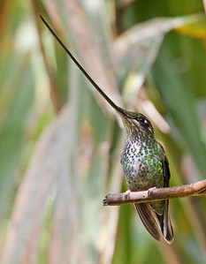 SWORD-BILLED HUMMINGBIRD - Ensifera ensifera - female - Yanacocha, April 2018, Pichincha, Ecuador