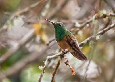 CHESTNUT-BELLIED HUMMINGBIRD - Amazilia castaneiventris - San Vicente de Chucurí, Santander, December 2015, Colombia