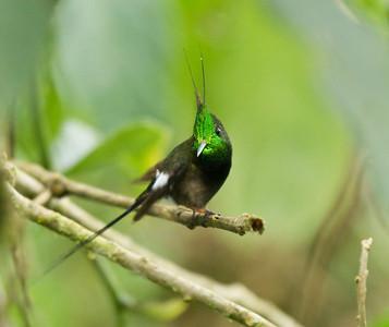 WIRE-CRESTED THORNTAIL - Discosura popelairii - male Wild Sumaco, 7 Nov 2014, Napo, Ecuador