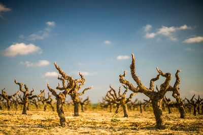 Grapevines, province of Seville, Spain