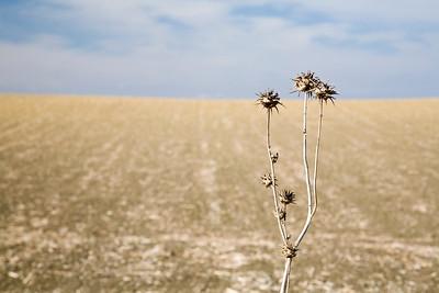 Thistle plant, summertime, Spain