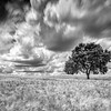 Holm oak on a mature wheat field on a windy day, Huevar del Aljarafe, Seville, Spain. Long exposure shot, B&W version.