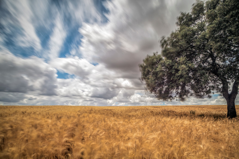 Holm oak on a mature wheat field on a windy day, Huevar del Aljarafe, Seville, Spain. Long exposure shot.