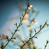 Almond blossoms, Spain