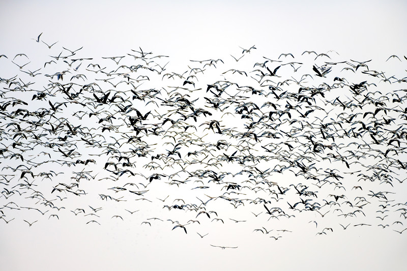 Large mixed-species foraging flock on rice fields, Isla Mayor, Seville, Spain.