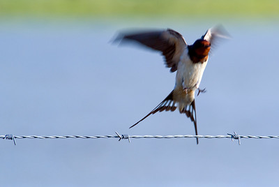 Swallow taking off  from a barbed wire, Spain