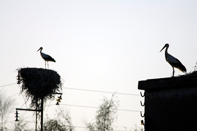 Storks, Doñana marshland area, town of Aznalcazar, province of Seville, autonomous community of Andalusia, southwestern Spain