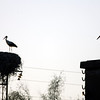 Storks, Doñana marshland area, town of Aznalcazar, province of Seville, autonomous community of Andalusia, southwestern Spain