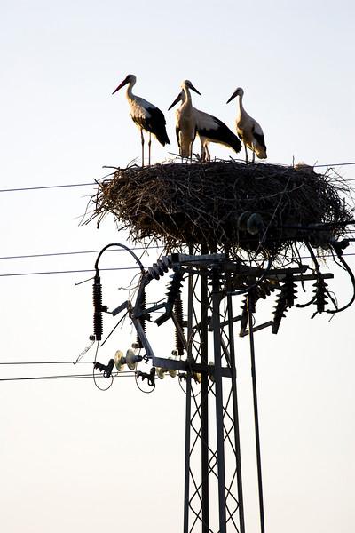 Nido de cigüeña común (Circonia circonia), con una pareja y dos pollos, sobre un poste eléctrico. Isla Mayor (Sevilla), entorno de Doñana.