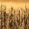 Plantas acuáticas al atardecer en uno de los brazos de las marismas del Guadalquivir, Isla Mayor (Sevilla), entorno de Doñana.