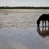Marismeño breed horse grazing freely in Doñana marshland, town of Aznalcazar, province of Seville, autonomous community of Andalusia, southwestern Spain