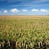 Campos de arroz, Isla Mayor (Sevilla), en el entorno de Doñana.
