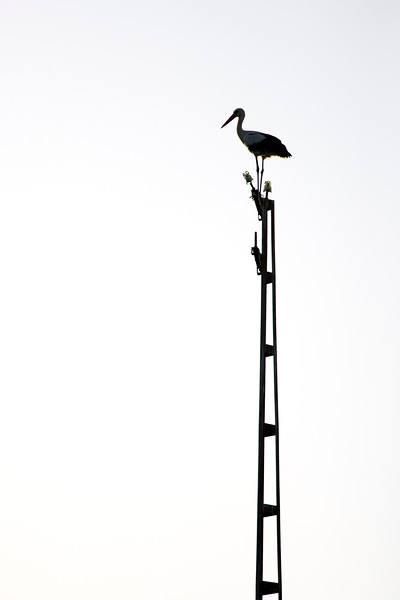 Stork landed on an old electric post, Doñana marshland area, town of Aznalcazar, province of Seville, autonomous community of Andalusia, southwestern Spain