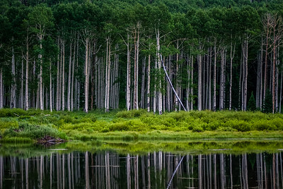 Aspen trees with green leaves in summer reflected in beaver pond in Big Cottonwood Canyon, Utah
