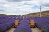 Lavender farm in New Zealand with chairs and wind turbines