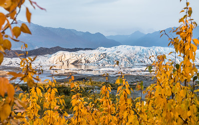 Sunset on the Matanuska Glacier with beautiful golden autumn leaves in the foreground.