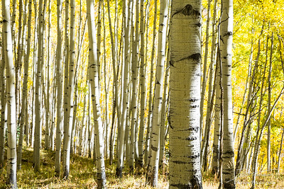 Fall colors on deciduous trees in Keebler Pass, Colorado