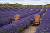 Lavender Farm on New Zealands South Island
