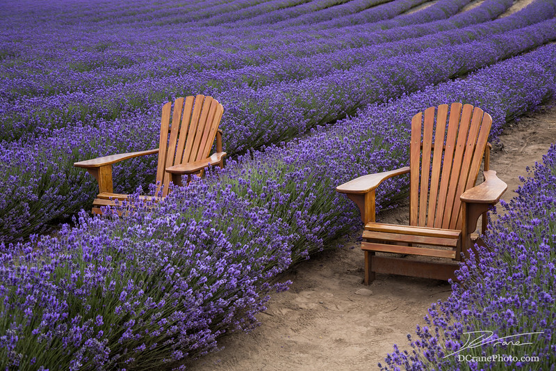 Chairs in rows of Lavender