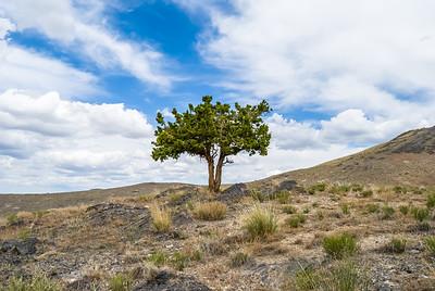 Lone juniper tree in the rocky west desert of Utah.