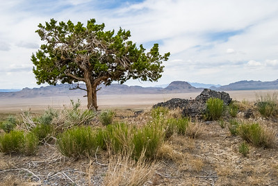 Shade. Single tree in open, hot desert in western Utah
