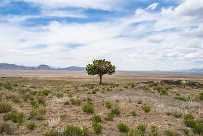 Solo juniper standing over vast desert valley in western Utah