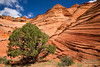 Green Juniper tree among orange sandstone waves