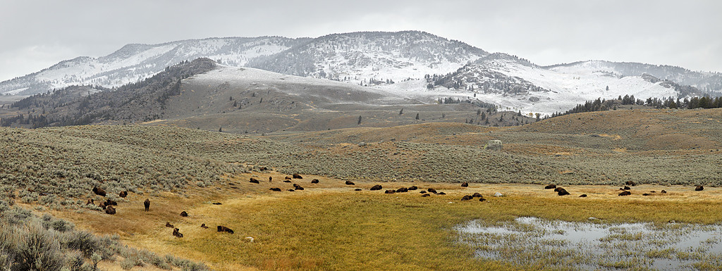 Bison Herd in Slough Creek Area - Yellowstone National Park