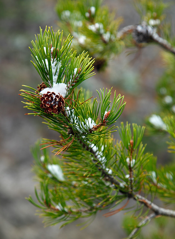 Lodgepole Pine - Yellowstone National Park