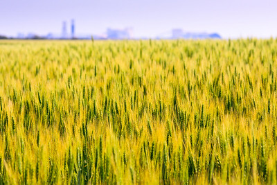 Young Green Wheat Field