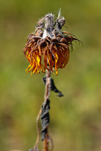 Droopy Sunflower