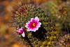 Pincushion Cactus in bloom