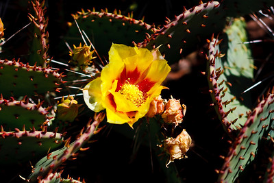 Black Spine Prickly Pear Cactus
