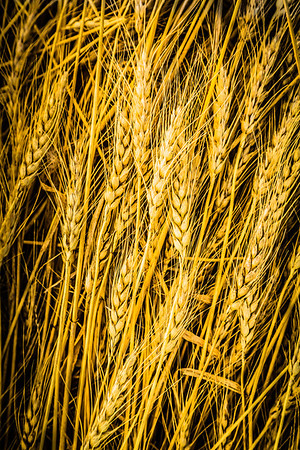 Golden Yellow Wheat